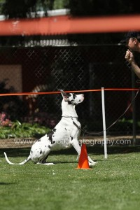 Harlequin Great Dane competing in Rally in California
