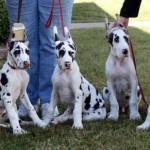 Harlequin Great Dane Puppies