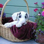 Harlequin Great Dane Puppy